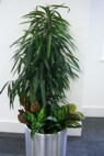 aluminium plant display with ficus alii